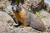 Yellow-bellied Marmot standing guard