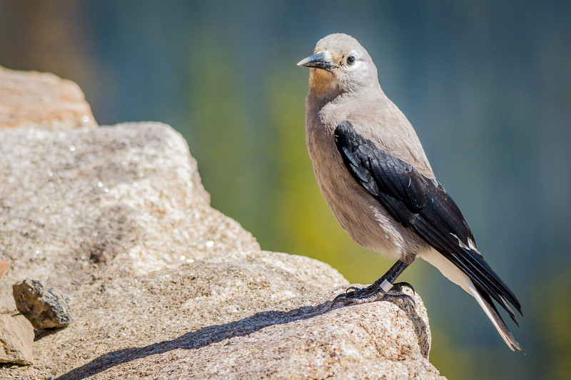 Clark's Nutcracker.  Everyone I saw was banded, so they must be under study by the National Park Service.