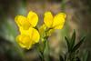 Golden Banner wildflower