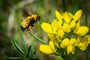 Bumblebee about to visit a Golden Banner wildflower