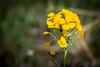 A Small Milkweed Bug hides under a Western Wallflower