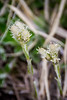 This looks like the Pearly Everlasting wildflower, but I'm not completely certain.