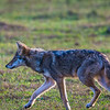 Up to two years ago we had never seen a Coyote in the Smokies.  This trip we saw several.