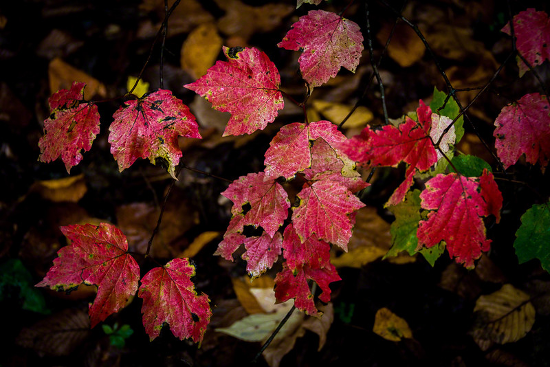 Red Maple leaves ready to fall
