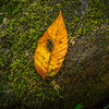 Yellow leaf on a moss-covered boulder