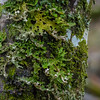 Multiple lichens and mosses growing on this tree