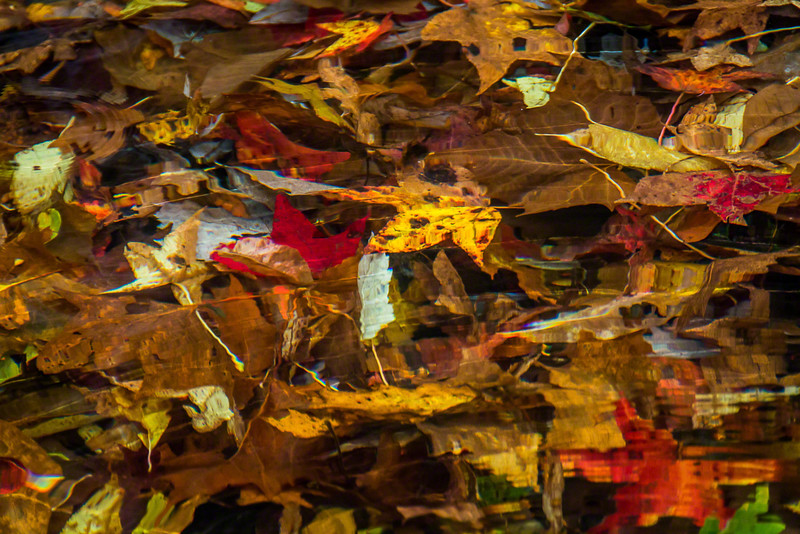 In quiet eddies the leaves eventually sink below the surface of the stream.  I like the sureal look several inches of water gives the leaves.
