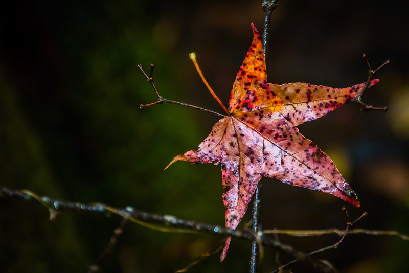 How is it that this fallen Sweetgum leaf landed to be caught so perfectly on edge?