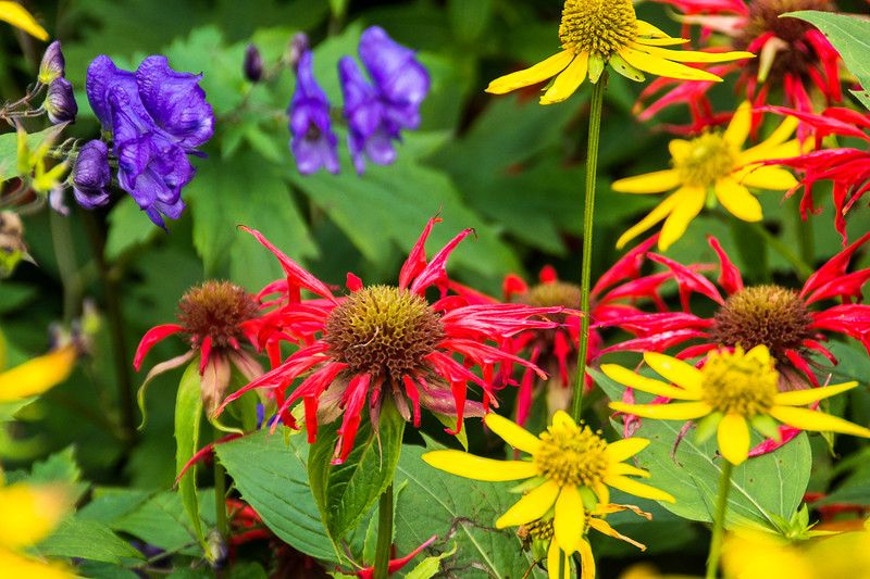Crimson Beebalm surrounded by Monk's Head and Cutleaf Coneflower