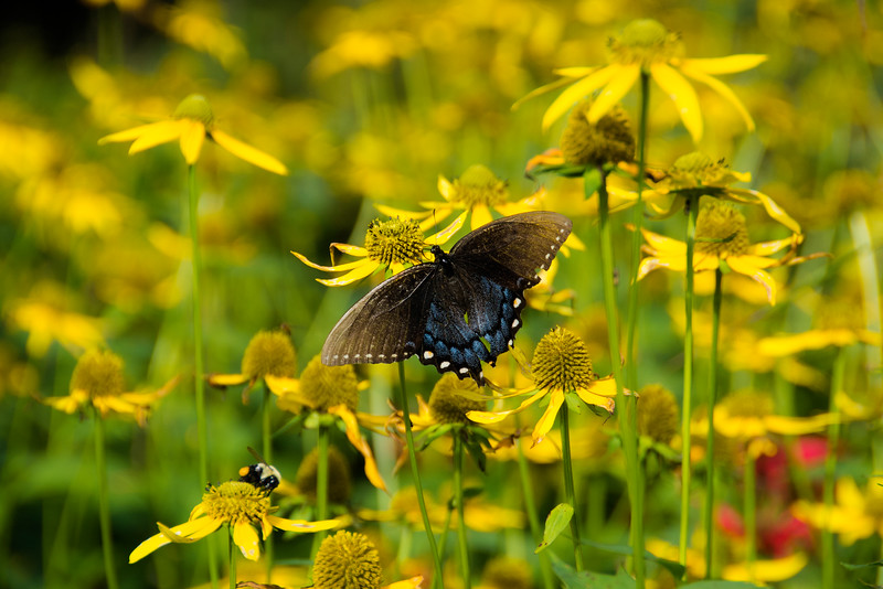 Spicebush Swallowtail on a Cutleaf Coneflower near an industrious bumblebee loaded with pollen.