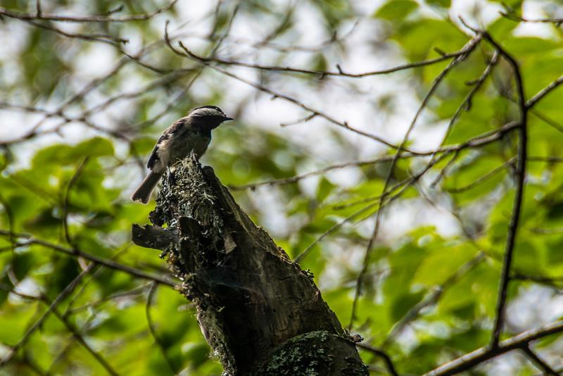 Carolina Chickadee.  Birds were hard to photograph on the trail.