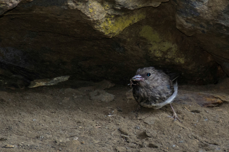 This must be some variation on a Dark-eye Junco.  Their beaks are not usually that dark though.  This one found lunch.