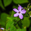 Thickleaf Phlox