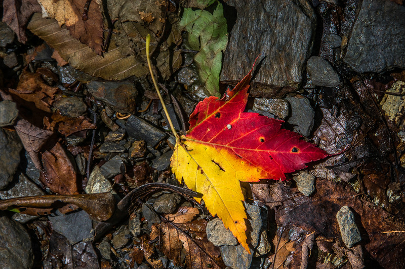 Maple leaves turn yellow or red.  This one couldn't  make up its mind.