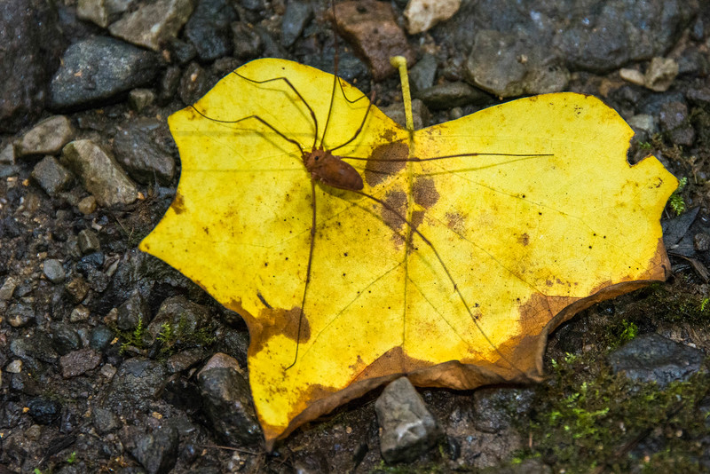 Harvestman on a Yellow Poplar leaf