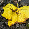 Harvestman on a Yellow Poplar leaf
