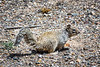 This California Ground Squirrel blends in well with the ground colors in this arid region.