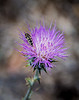 Metallic Wood Boring Beetle on a Pink Thistle Bloom