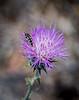 Metallic Wood Boring Beetle on a Pink Thistle Bloom