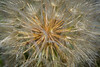 Peering into the heart of the Dandelion seed head