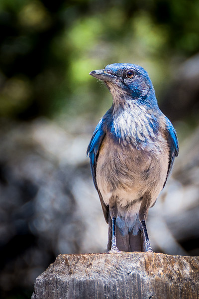 This Woodhouse Scrub-Jay posed for a photo.