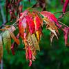 Staghorn Sumac is also very colorful in the Fall.  It's one of my favorites.
