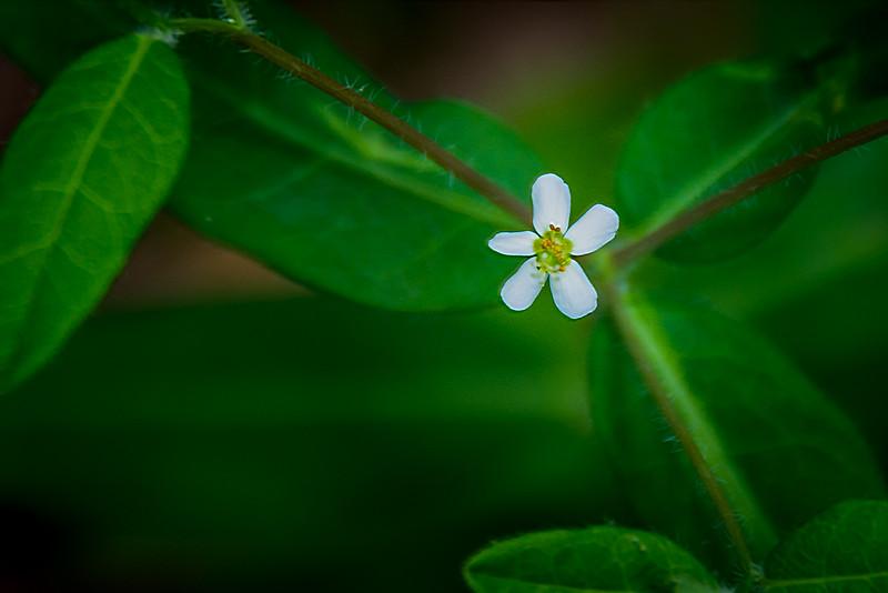 Flowering Spurge.  This tiny bloom is