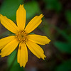 Nana Flower, a different variety of Coreopsis