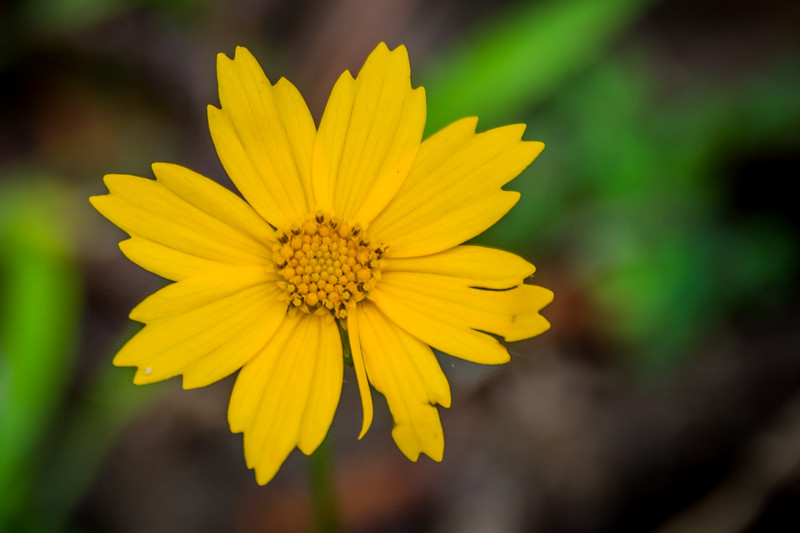 Lanceleaf Coreopsis, the MS state flower