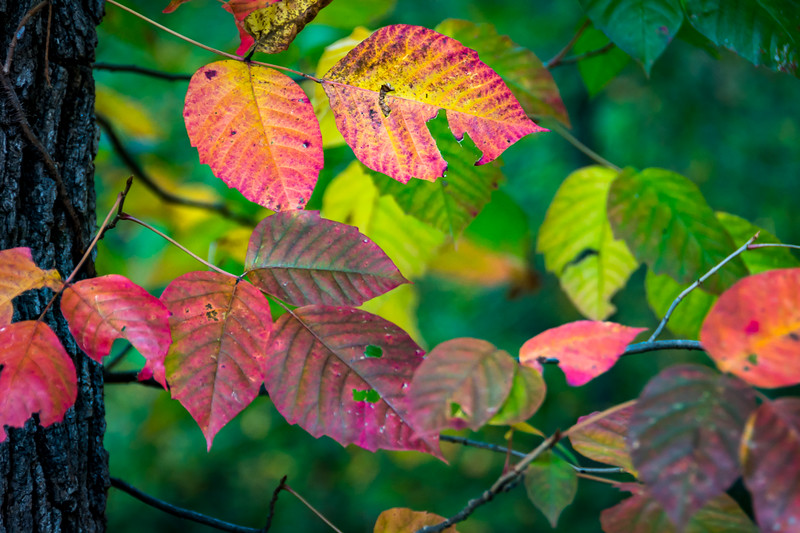Poison Ivy is very colorful in the Fall.