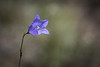 Harebell Bellflower
