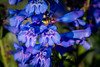 Dark-blue Penstemon