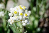 This is one of the better examples of Pearly Everlasting I have seen.