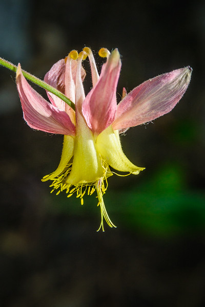 Coville's Columbine.  Columbine flowers must be hardy, as they range in color and geography.
