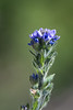 Yellowstone National Park wildflower