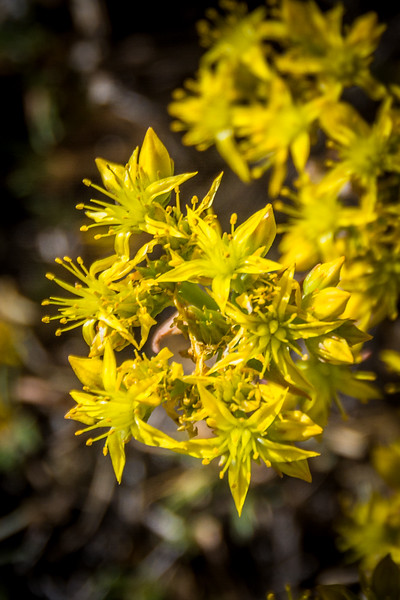 Yellow Stonecrop is common in western states.