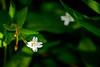 Tiny white wildflower