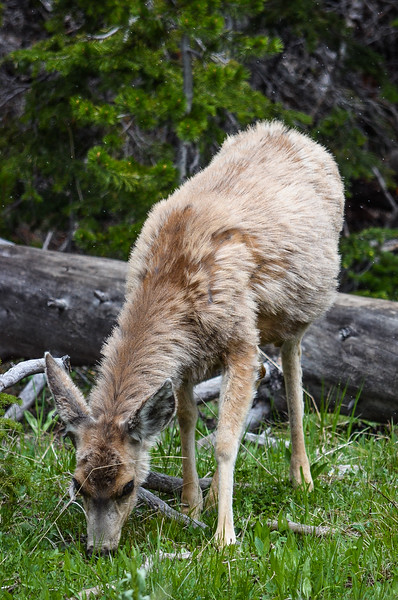 I'm amazed any deer live through the winter in Yellowstone.