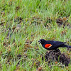 Red-winged blackbird was harrassing a Raven