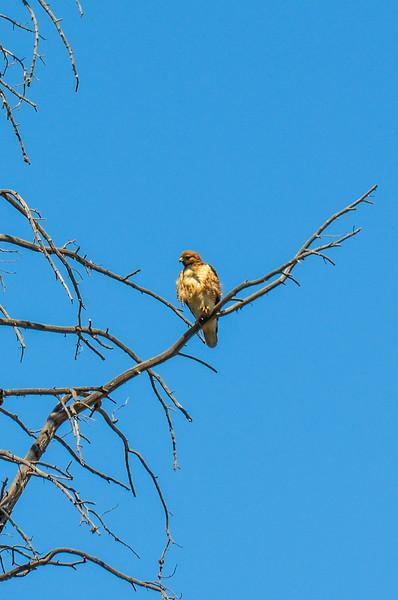 I think this is a Ferruginous Hawk.