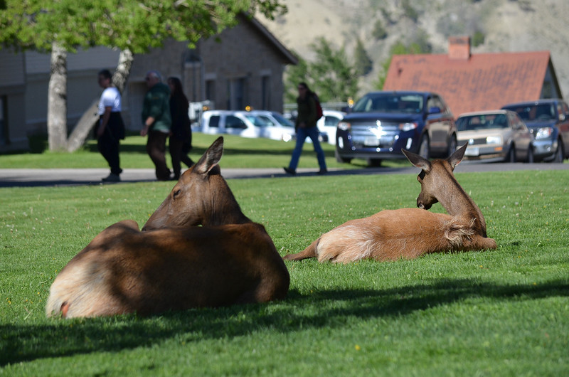 The elk are part of Mammoth Hot Springs in Yellowstone.