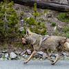Coyote scavanged part of an elk leg