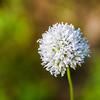 Western Bistort, aka Polygonum bistortoides, American bistort, smokeweed or mountain meadow knotweed