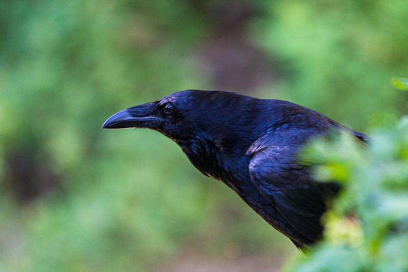 Love this Raven shot.