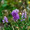 Silver Lupine...I took sooooo many wildflower shots.
