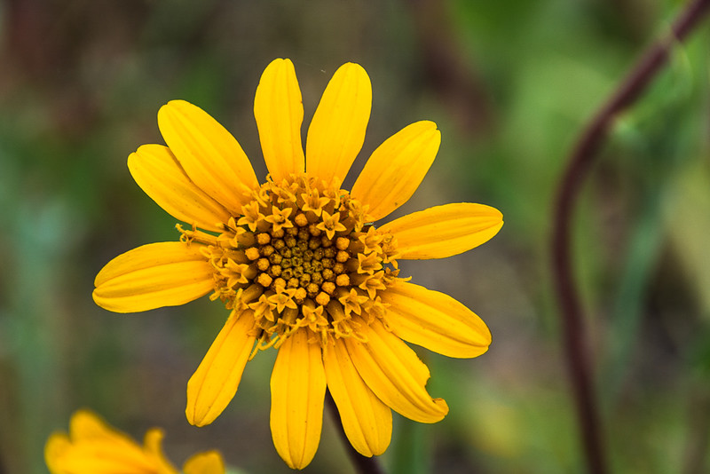 Sierra arnica.  Given the individual flower heads in the main head I think it must be related to the Sunflower.