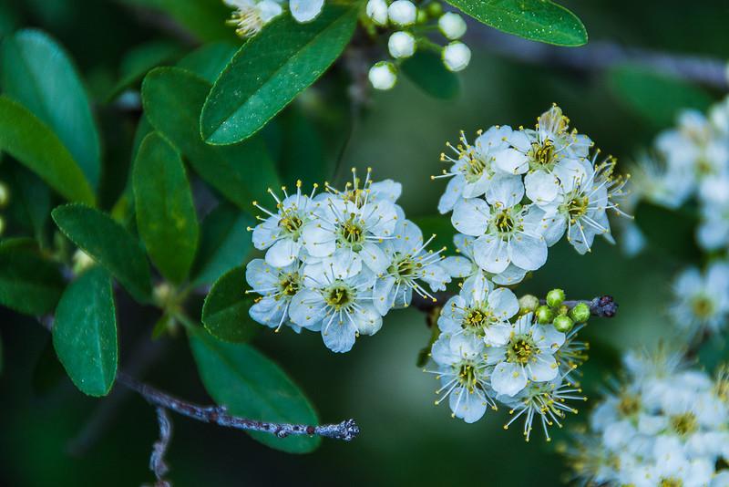 Spiraea alpine spring flower - white flowering shrub