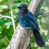Steller's Jay.  Beautiful blue and a bit raucous.  I took several shots of these birds.