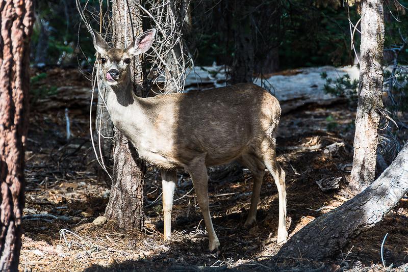 Lots of deer in Yosemite.