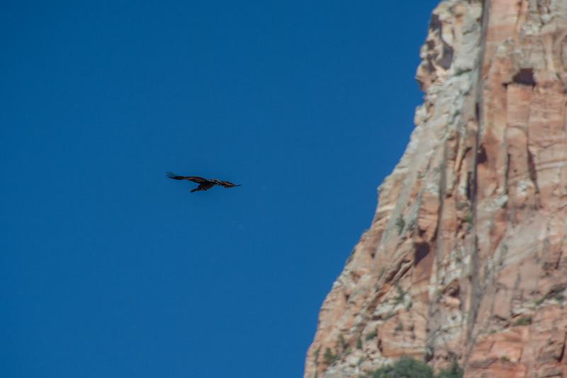 Large Crow in flight